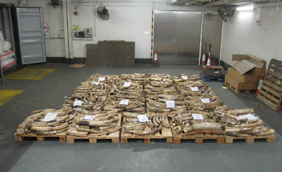 Hong Kong and Guangdong Customs confiscate two shipments of illegal elephant tusks, weighing around 3,813 kilogrammes (8,388 pounds), 22 October 2012. Photo courtesy of Hong Kong and Guangdong Customs via mongabay.com
