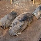 Tiefenentspannte Warzenschweine im Sheldrick Wildlife Trust © Foto: Susanne Schlesinger | Outback Africa Erlebnisreisen