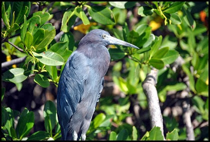 17i - Little Blue Heron