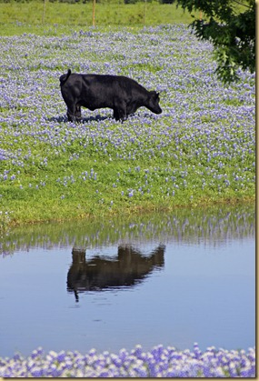 Cow in bluebonnets 2012