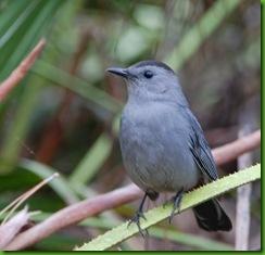 beggar catbird