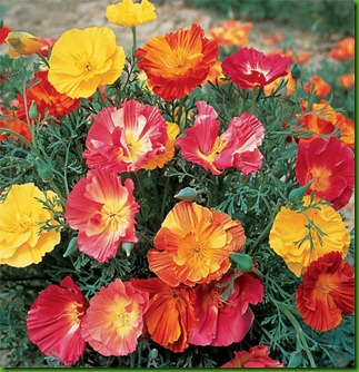 California Poppie Mix