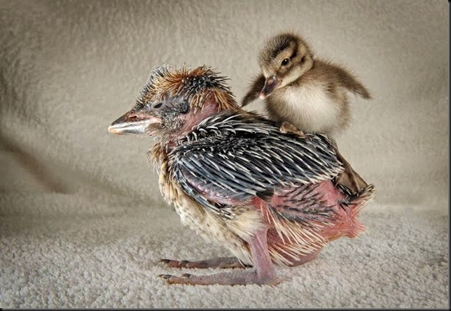 Solent News Kookie & duckling 4