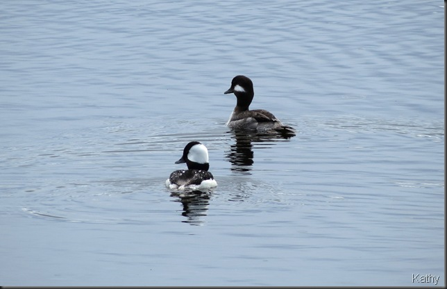 Pair of Buffleheads