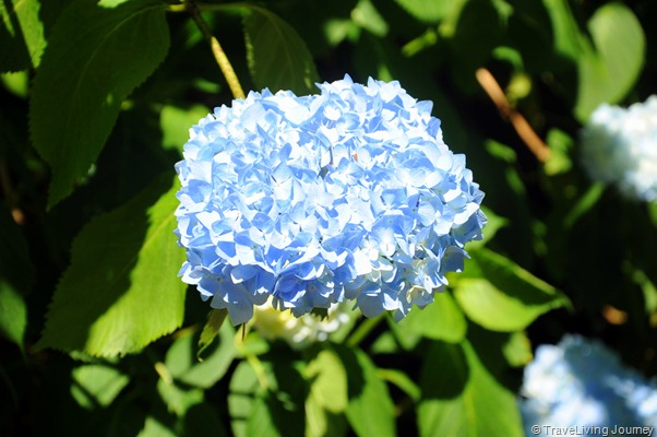 Blue Bloom in our back yard