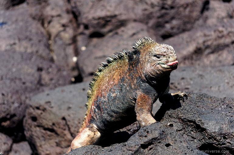 Meeresleguan, Galapagos
