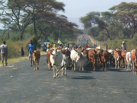Turma de vaci Etiopia