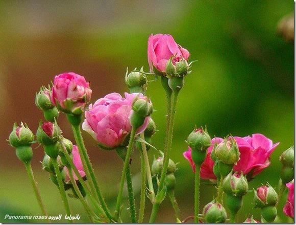 flores-facebook-tumblr-rosas-las flores-fotos de flores-709