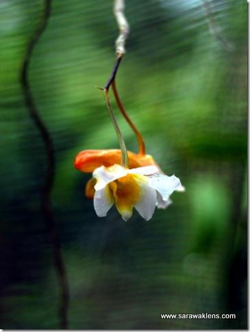 Dendrobium_phillipsii_sarawaklens