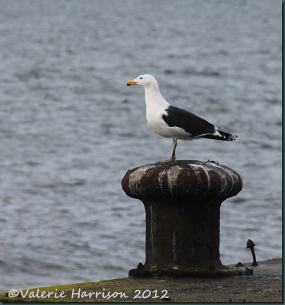 13-great-black-backed-gull