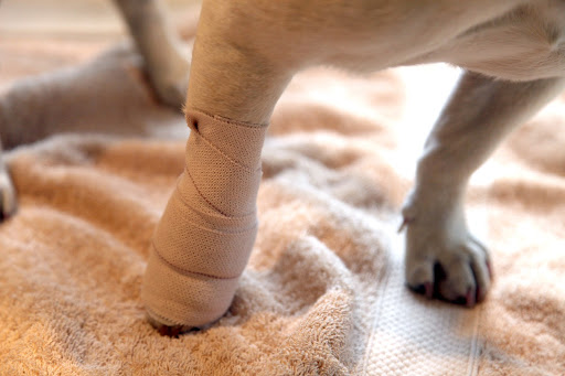 Sharkey's leg has also been wrapped to keep it protected while it heels.  Her dewclaw actually had to be surgically removed because it was causing her too much pain.  Poor girl!