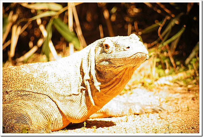 public-domain-komodo-dragon-picture (1)