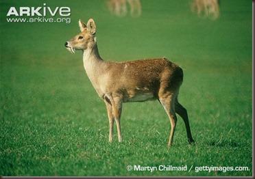 ARKive image GES035608 - Chinese water deer