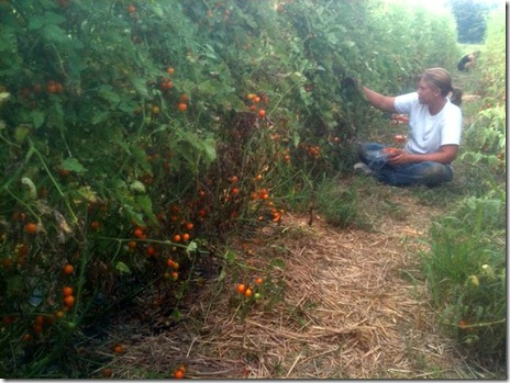 Harvesting cherry tomatoes