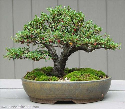 bonsais arvores em miniatura desbaratinando (42)