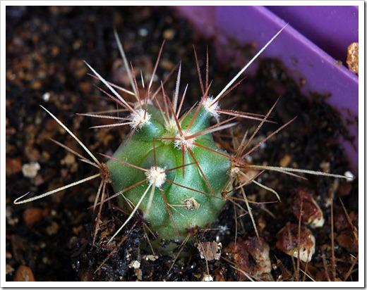 110813_cactus_babies4