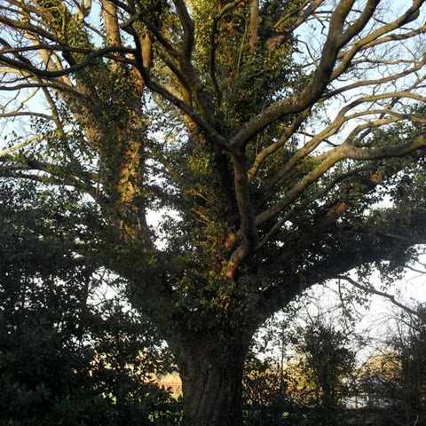sycamore- laughton lane (follow a tree)