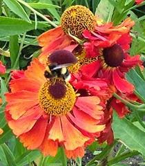 norma's bee2