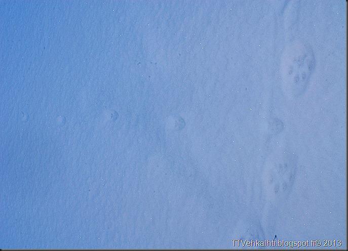 ilves tassujälki lumessa finpyyntie  kimaluskuvia 125