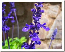 Botanic Serrat Salvia azul 3