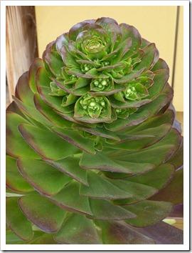 120208_CactusJungle_Aeonium-atropurpureum