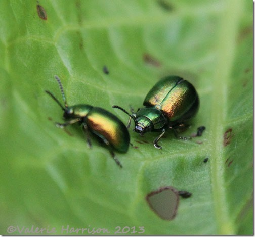 50-green-dock-beetles