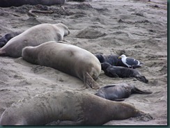 Elephant Seals 2012 012