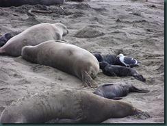 Elephant Seals 2012 012