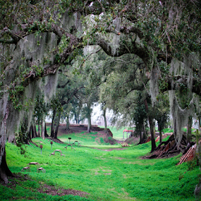 Oaks of the Tort Jackson by Victoria Evans - Landscapes Forests ( tree, louisiana, moss, fort, oak trees )