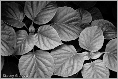 Hydrangea in Black and White