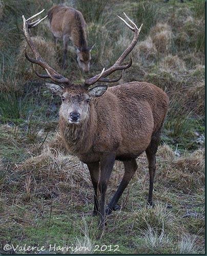 20-red-deer