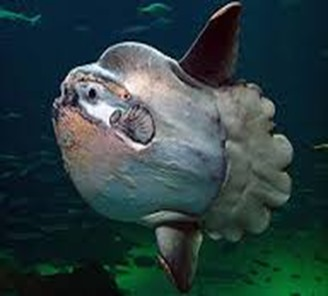 Amazing Pictures of Animals, photo, Nature, exotic, funny, incredibel, Zoo, ocean sunfish, Mola mola, or common mola, Alex (13)
