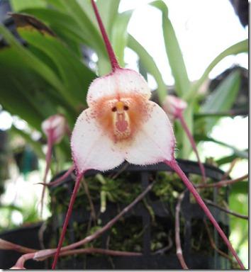 orquidea-cara-de-Macaco-flor-fleur-flower