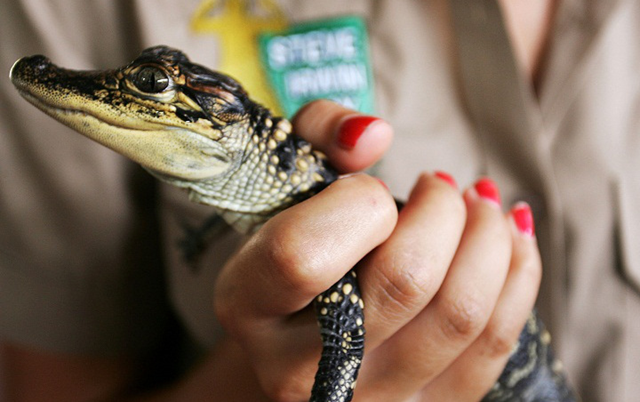An Australia Zoo animal carer holds a baby crocodile during the second annual Steve Irwin Day celebrations at Australia Zoo on 15 November 2008 on the Sunshine Coast, Australia. Photo: AP