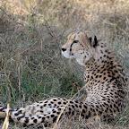 Gepard © Foto: Pascal Chapelain