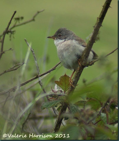 3-whitethroat