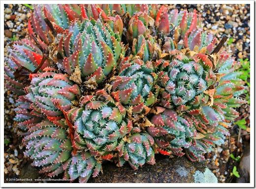 140206_UCBG_Aloe-brevifolia-postgenita_001