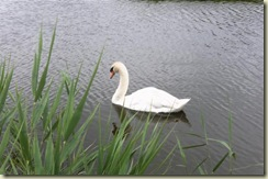 Swan in Koog-Zandijk (Small)