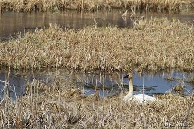 Swan at Tamarac