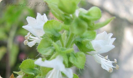11-24-basil-blooms