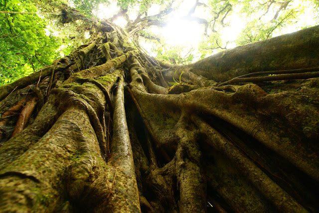 A sinuous ficus tree strangles its host in the Monte Verde Cloud Forest, Costa Rica.