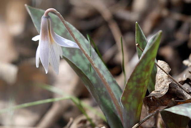 An early season Trout Lily wildflower is found during a wildflower survey at Breckenridge Park, in Richardson, Texas, in this 5 March 2014 photo illustration. The bloom season in the Colorado Rocky Mountains, which used to run from late May to early September, now lasts from late April to late September, some 35 days longer. Photo: LM Otero / AP
