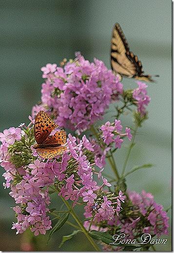Phlox_BlueB_Butterfly