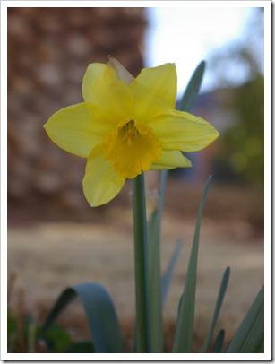 First Daffodill