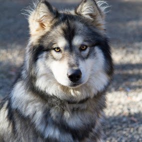 by Kyle Rea - Animals - Dogs Portraits ( adorable dogs, domesticated dogs, kyle rea photography, siberian husky, wolf dog, regal dogs, siberian husky wolf, half dog half wolf,  )