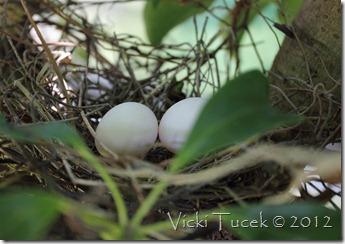 Doves nest (1) (Medium)