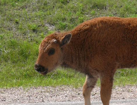 Bison Calf