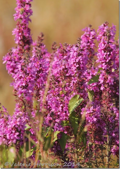 11-Purple-loosestrife
