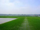 Rice paddies in Aomori, Japan