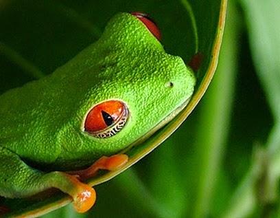 red-eyed-treefrog-cr-lauren-wentz-middleton3943_2_66221